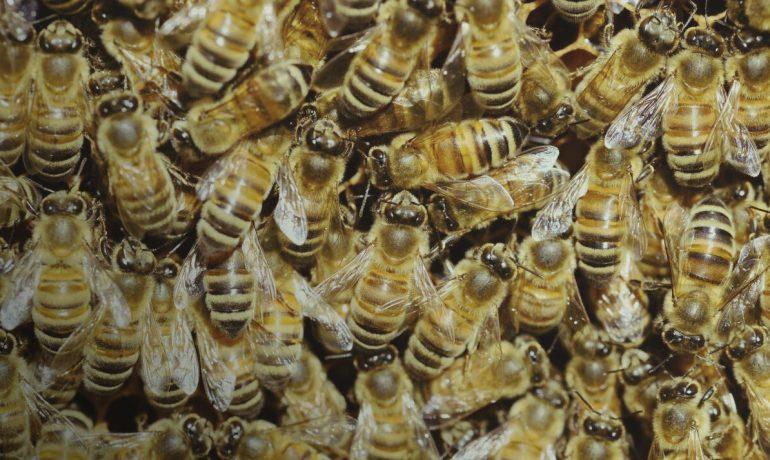 Болезни пчел - Мешотчатый расплод