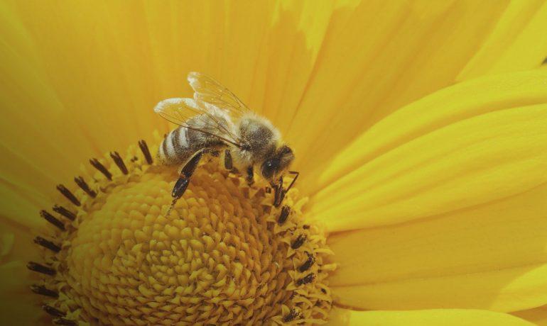 ЄС заборонив пестицид компанії Bayer за його шкоду бджолам