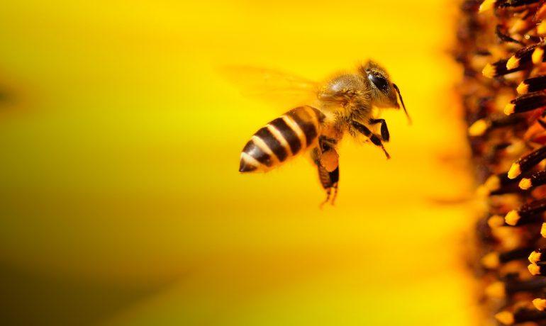 Бджолозапилення соняшника
