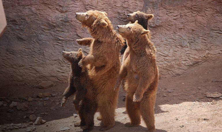 Медведи дегустаторы меда