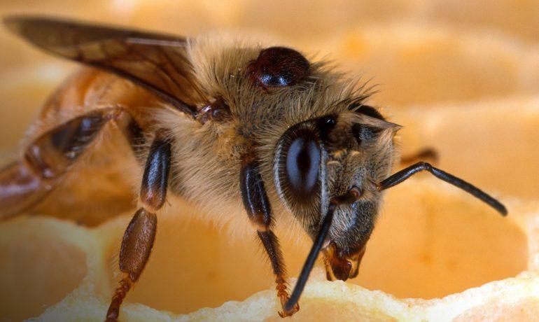 Varroa destructor кліщ
