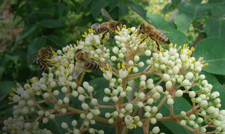 Еводія Даніеля або медове дерево
