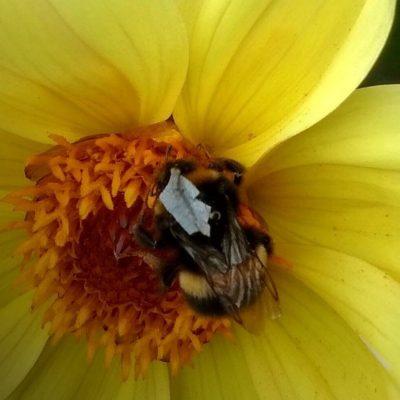 Вчені створили світловідбиваючі жилети для бджіл