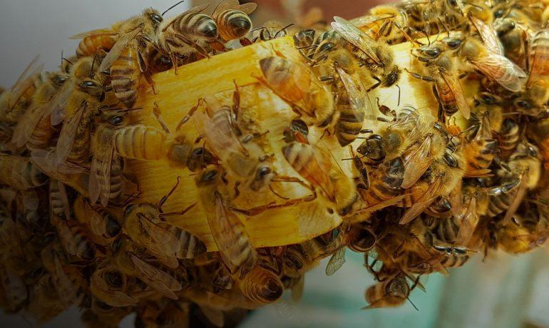 Демократия у пчел
