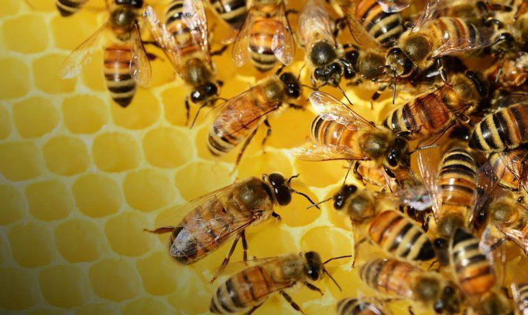 Генетика бджіл