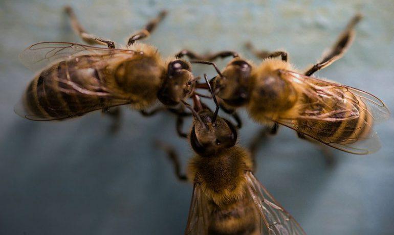 Пчела разведчик