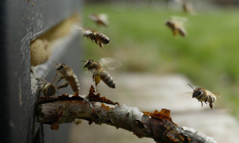 бджоли злодійки