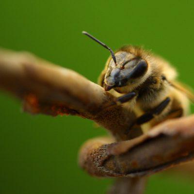 Неонікотиноїди скорочують комахам життя