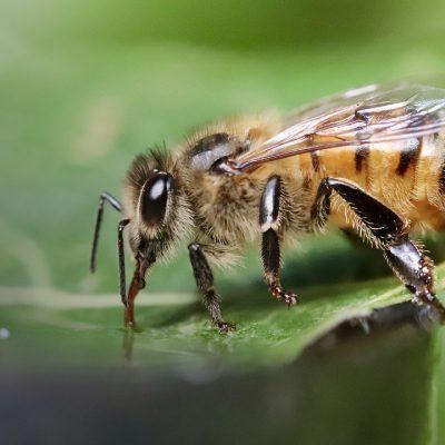 Білкова підгодівля бджолиних сімей