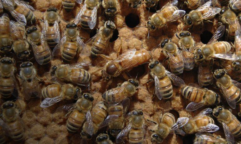 розплід бджіл