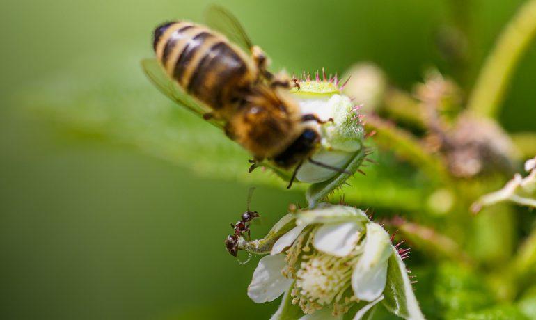мурахи на пасіці