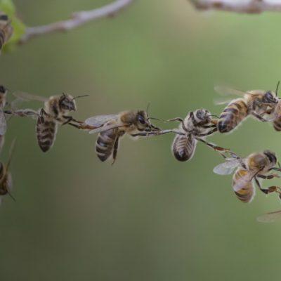 Врятувати бджіл, чи зберегти традиції?