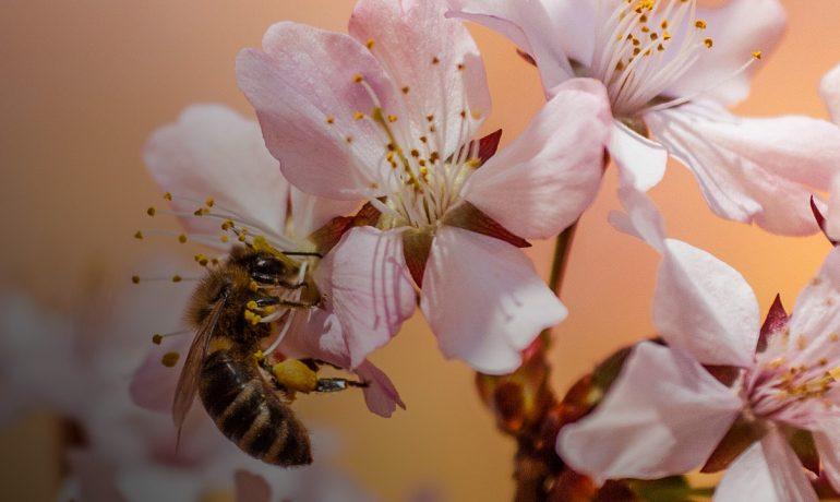 запилення бджолами