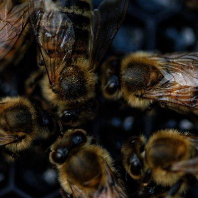 Бджолина мова має діалекти