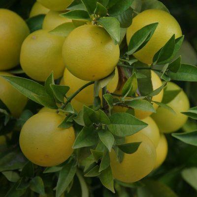 Еліксир здоров'я з грейпфрута та меду
