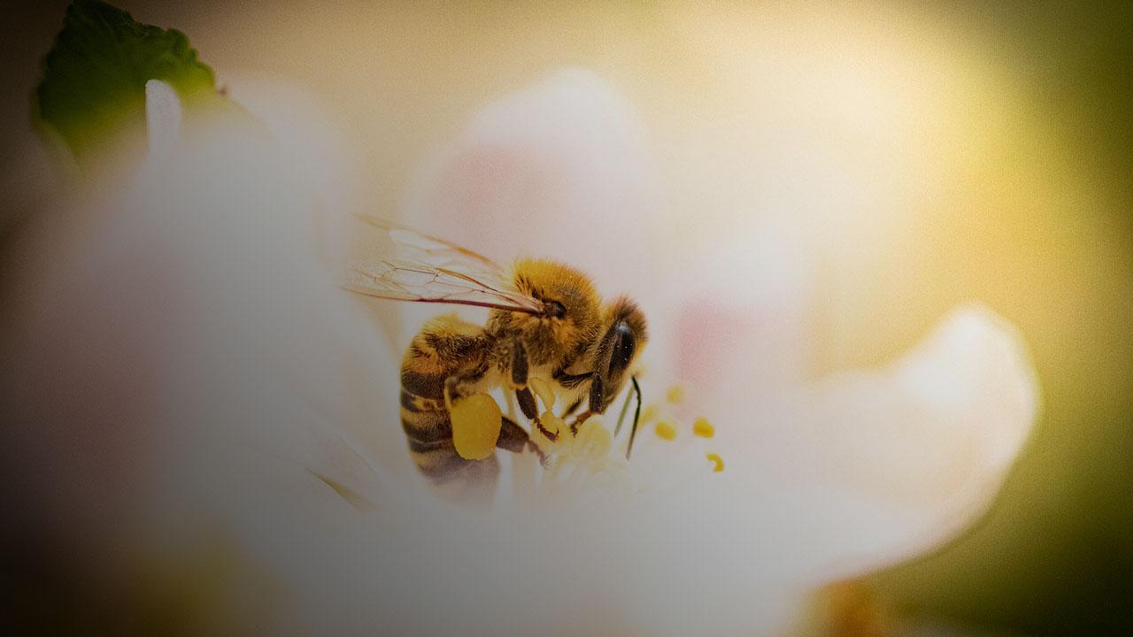 Бджоли можуть себе клонувати