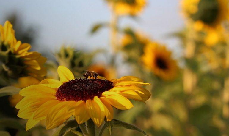 тендер бджолозапилення