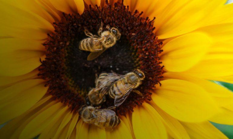 Бджолозапилення