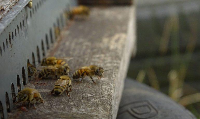 селекция пчел