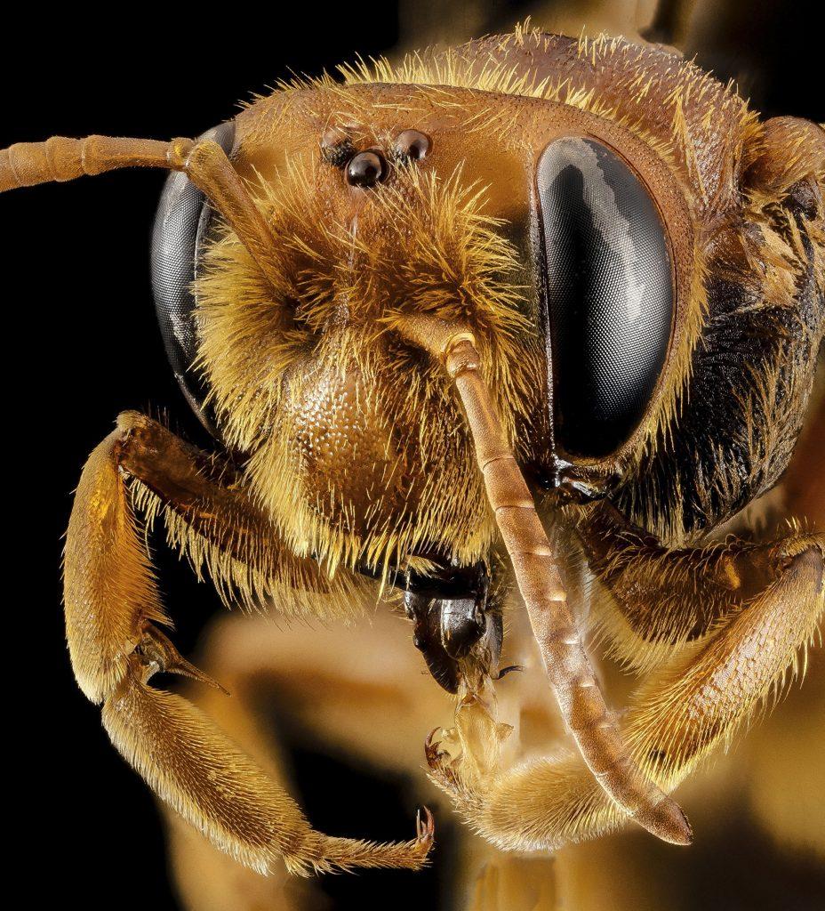 глаза пчелы