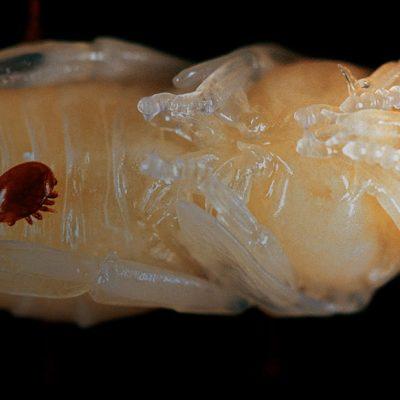 Методи боротьби з кліщами Varroa