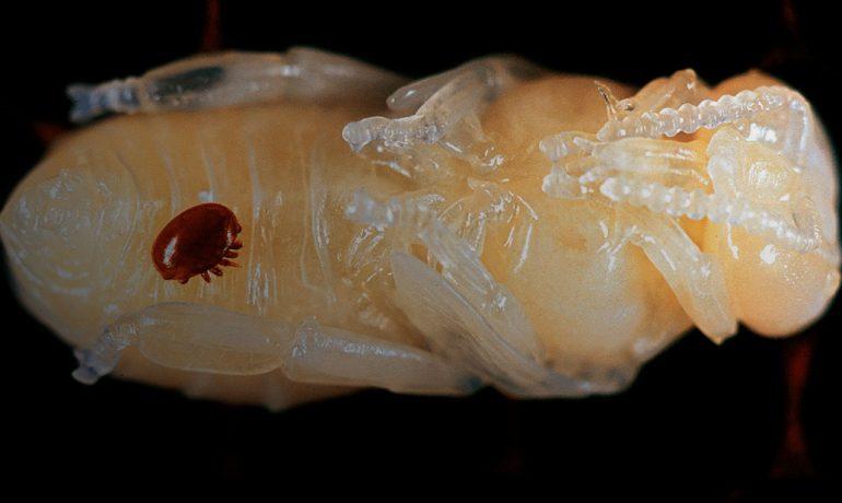Клещ varroa