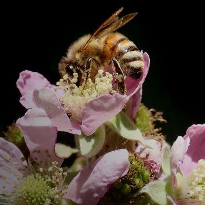 Чим зліша бджола, тим краща отрута