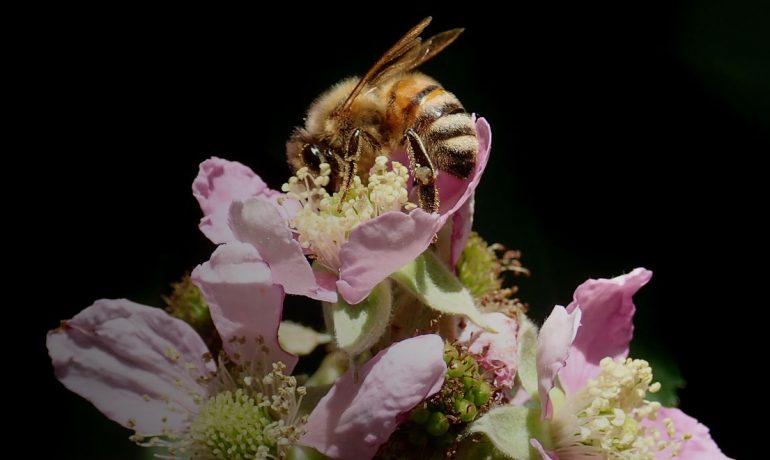 яд пчелиный